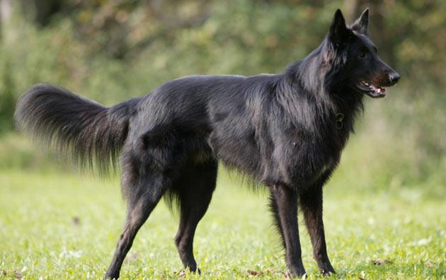 Породы собак - Бельгийская овчарка