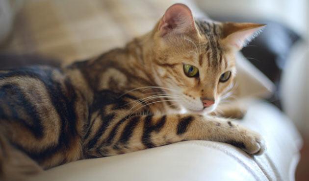 Породы кошек - Бенгальская