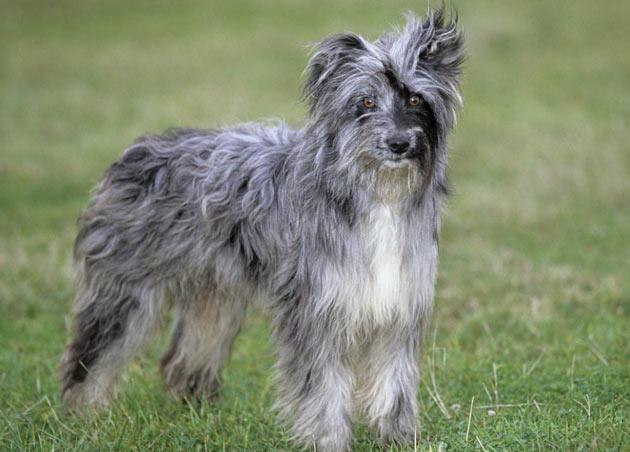 Породы собак - Пиренейская овчарка