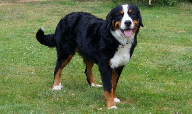 Породы собак - Бернский зенненхунд