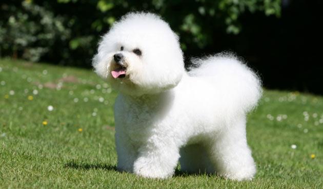 Породы собак - Бишон фризе