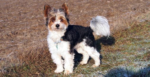 Породы собак - Бивер-йоркширский терьер