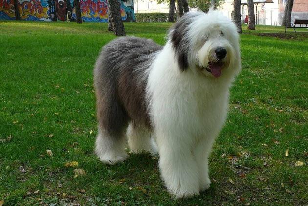 Породы собак - Бобтейл