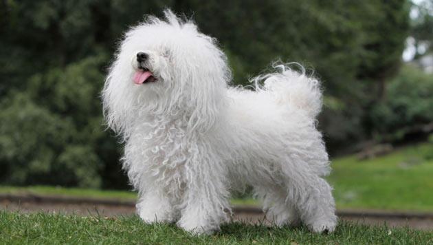 Породы собак - Болоньез