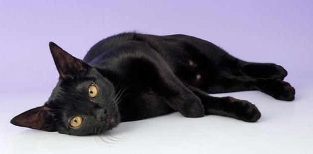 Породы кошек - Бомбейская