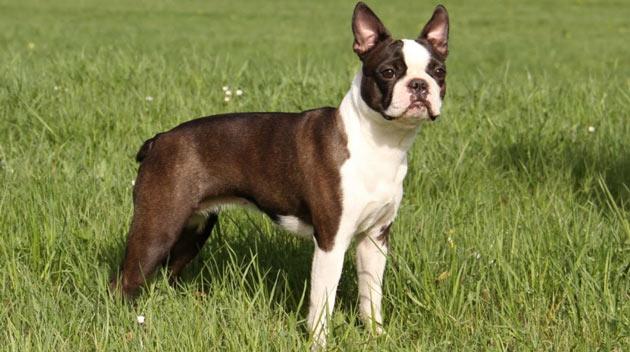 Породы собак - Бостон-терьер