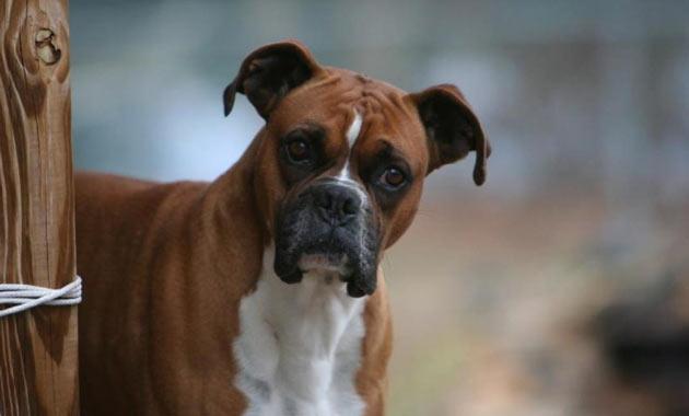 Породы собак - Немецкий боксёр