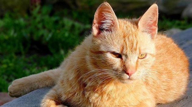 Породы кошек - Бразильская короткошёрстная