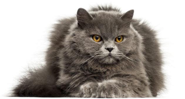Породы кошек - Британская длинношёрстная