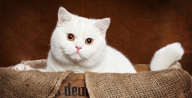 Породы кошек - Британская короткошёрстная