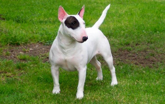 Породы собак - Бультерьер