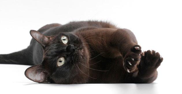 Породы кошек - Бурма (Бурманская)