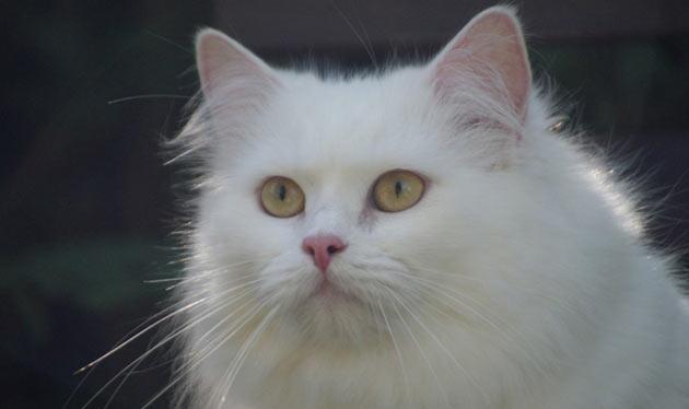 Породы кошек - Бурмилла длинношёрстная
