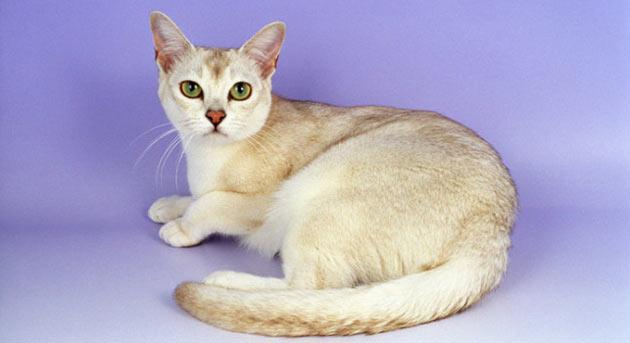 Породы кошек - Бурмилла короткошёрстная