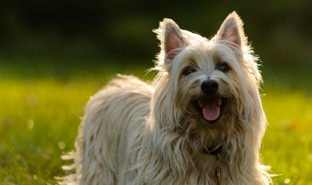 Породы собак - Керн-терьер