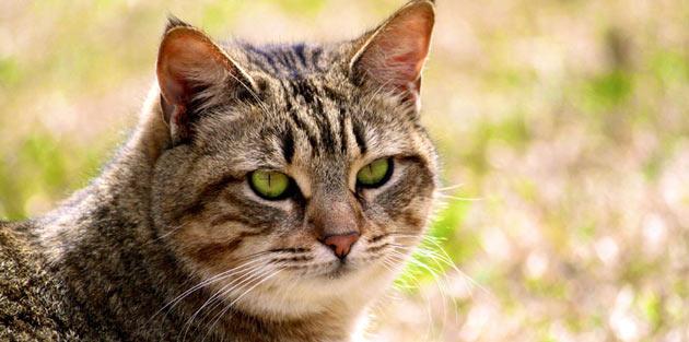 Породы кошек - Калифорнийская сияющая