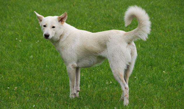 Породы собак - Ханаанская собака