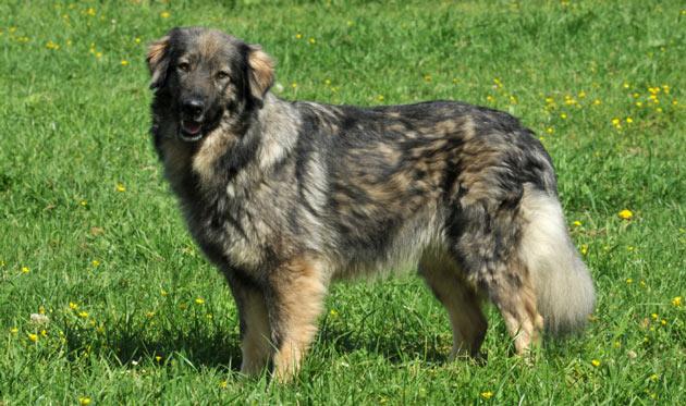 Породы собак - Кавказская овчарка