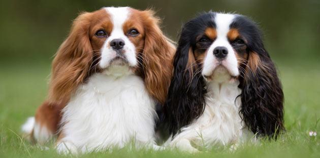Породы собак - Кавалер-кинг-чарльз-спаниель