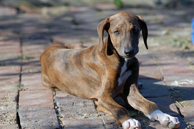 Азавак — порода специфическая и явно не рассчитанная на широкий круг собаководов