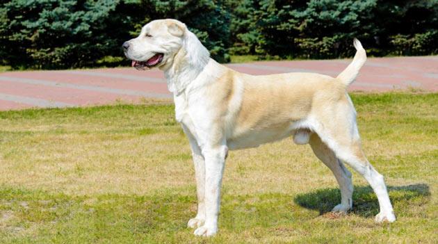 Породы собак - Среднеазиатская овчарка (алабай)