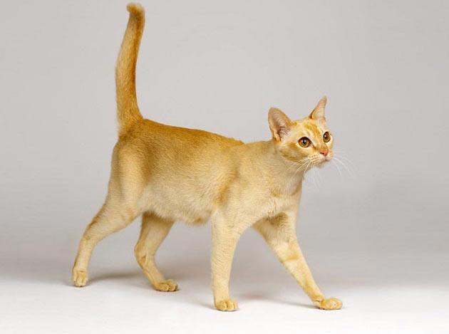 Породы кошек - Цейлонская
