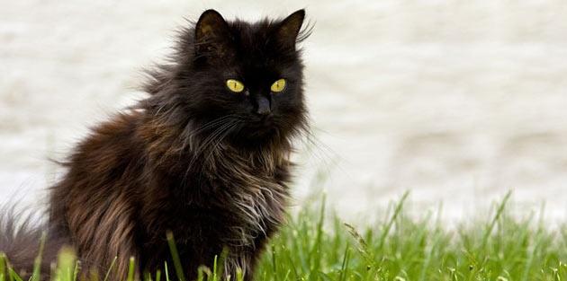 Породы кошек - Шантильи Тиффани