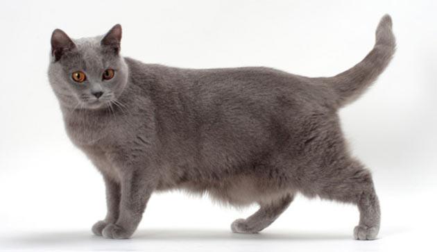 Породы кошек - Шартрез