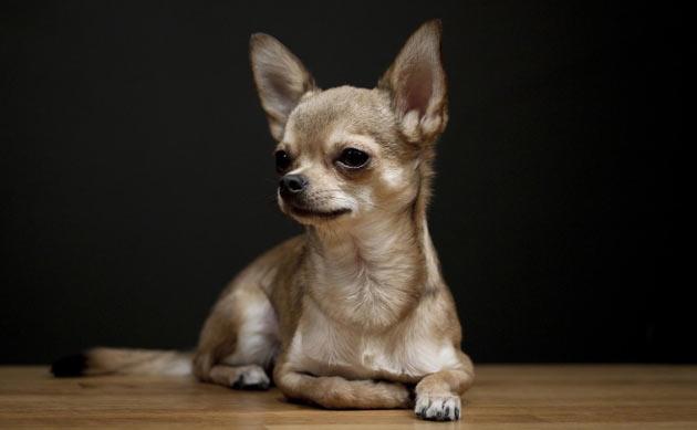 Породы собак - Чихуахуа