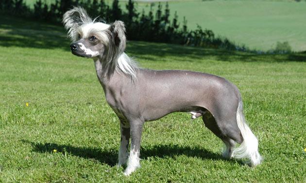 Породы собак - Китайская хохлатая собака