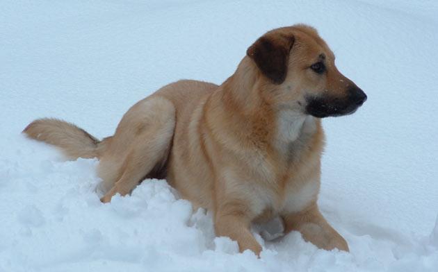 Породы собак - Чинук