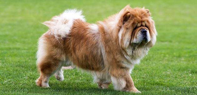 Породы собак - Чау-чау