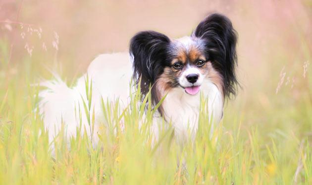 Породы собак - Папильон (Континентальный той-спаниель)