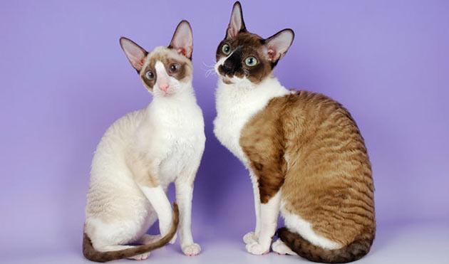 Породы кошек - Корниш рекс