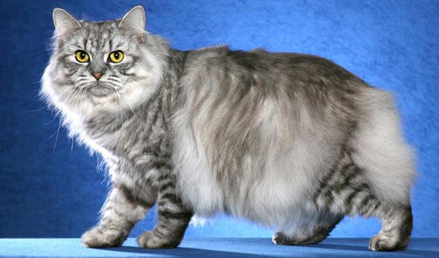 Породы кошек - Кимрик
