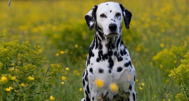 Породы собак - Далматин