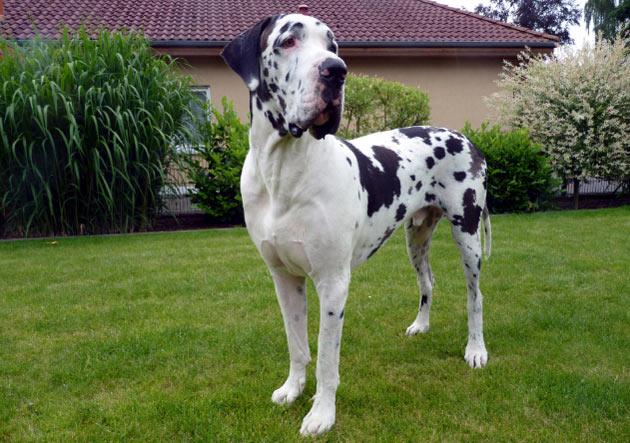 Породы собак - Немецкий дог