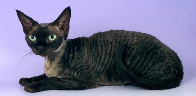 Породы кошек - Девон рекс