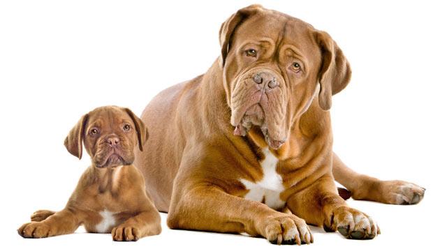 Породы собак - Бордоский дог