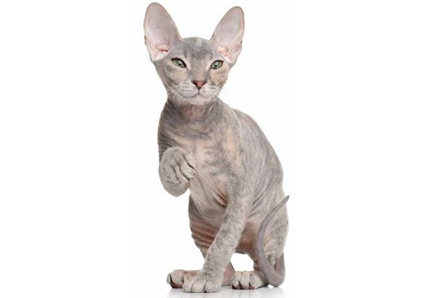 Породы кошек - Донской сфинкс