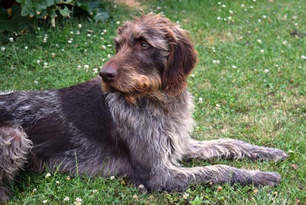 Породы собак - Дратхаар