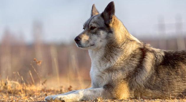 Породы собак - Восточно-сибирская лайка
