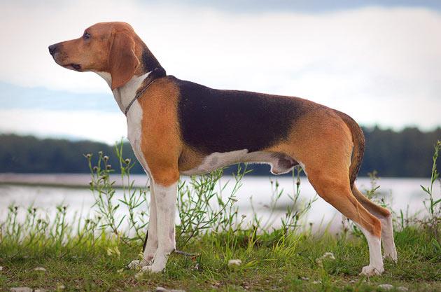 Породы собак - Эстонская гончая