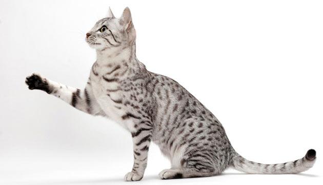 Породы кошек - Египетский мау