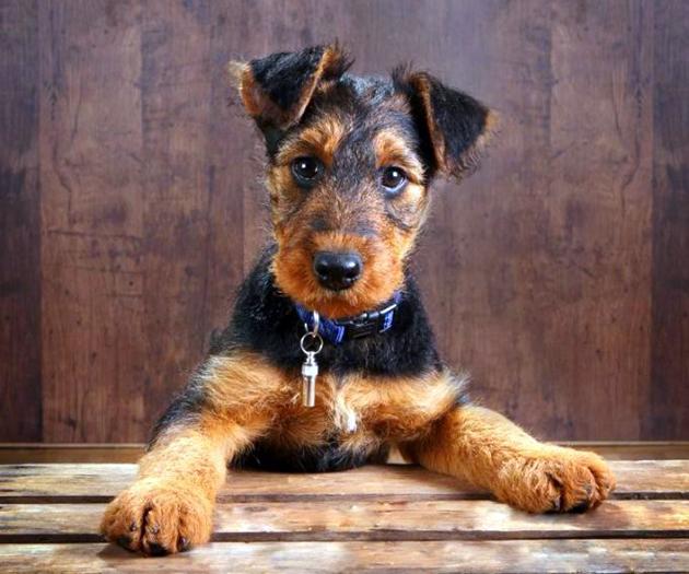 Эрдельтерьер превосходно выполняет работу разных охотничьих собак