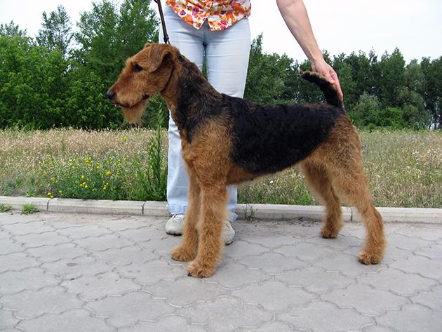 Эрдель – самые преданные собаки на свете