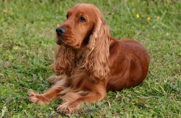 Породы собак - Английский кокер-спаниель