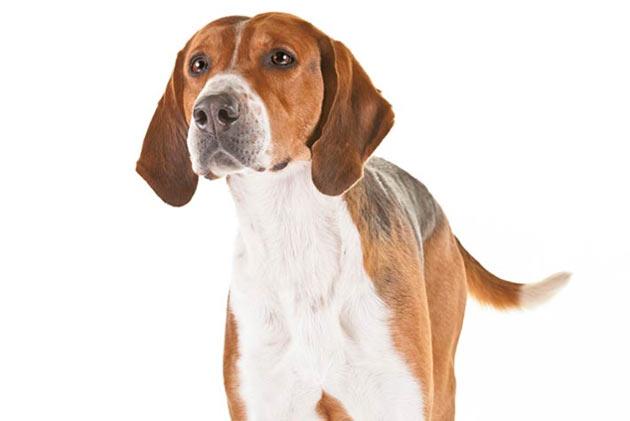Породы собак - Английский фоксхаунд