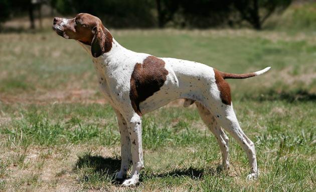 Породы собак - Пойнтер (английский пойнтер)