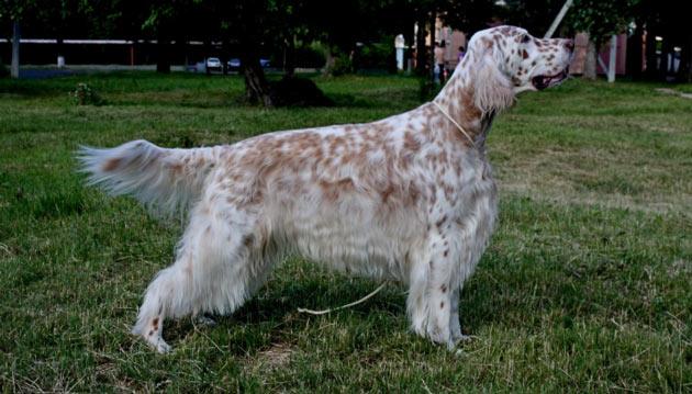 Породы собак - Английский сеттер